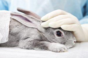 rabbit undergoing animal testing